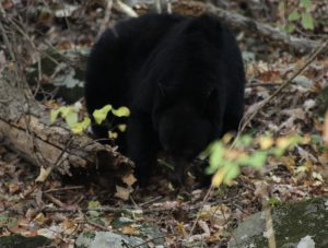 Bear on Historic National Trail