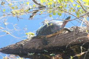 Old Canal Trail Turtle